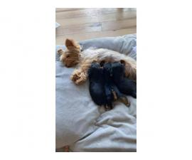 2 girls and 1 boy Yorkshire Terrier Puppies