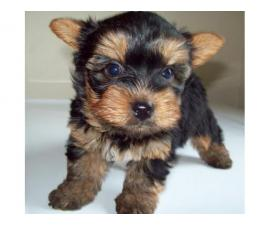 Yorkie puppies ready for a caring family