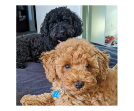 Gorgeous and outstanding 4× lovely poodle pups.