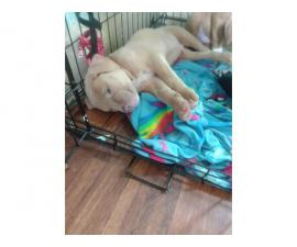 One male American Bully puppy for adoption