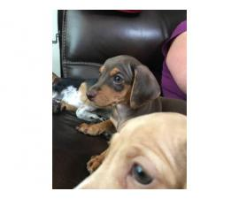 2 nine weeks old Chiweenie puppies available
