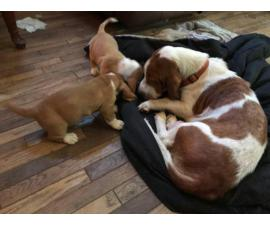 Two Basset Hound puppies for a loving home