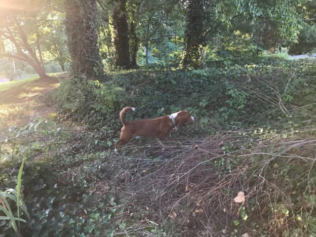 Two Basset Hound Puppies For A Loving Home In Nashville Tennessee Puppies For Sale Near Me