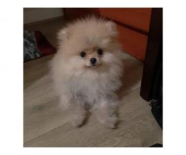 males and females pom puppies available