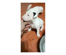 3 males full bred Bull terrier puppies