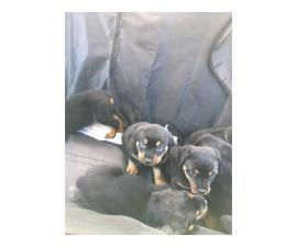 Malesand females Rottweiler puppies available