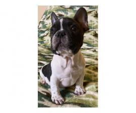2 months old French bulldog pups ready for forever home