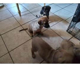 3 males and 1 Female German Pit puppies