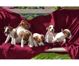 Purebred litter of Jack Russell Terrier puppies to be rehomed