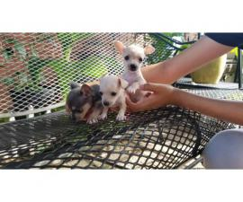 3 males chihuahua puppies available for sale