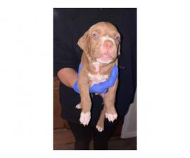 6 weeks old Pit puppies for sale