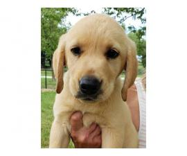 AKC Yellow Lab puppies for sale