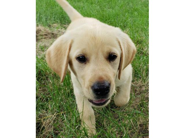 AKC Yellow Lab Puppies For Sale In Kansas USA