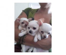 2 Chihuahua female puppies available for rehoming