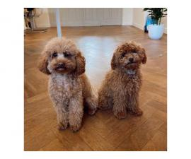 2 lovely poodles for sale now