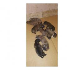 4 brindle and 2 fawn pure bred boxer puppies up for rehoming