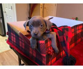 2 months old Labrabull puppies for adoption