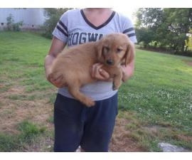 Adorable golden retriever puppies for sale