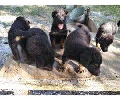 5 AKC registered German Shepherd puppies needing a new home