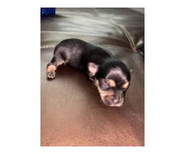 3 girls & 3 boys Party Yorkie puppies available for sale