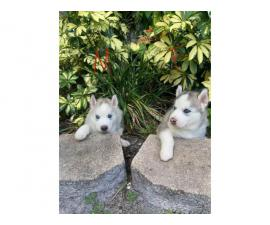 Stunning purebred Siberian Husky puppies for sale
