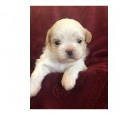 4 cream and white litter of Shih tzu puppies