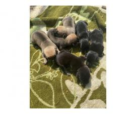 Cute litter of Jack Chi puppies