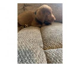 3 males 4 females AKC Lab puppies ready for new home