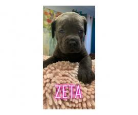 3 girls and 2 boys Cane Corso puppies available