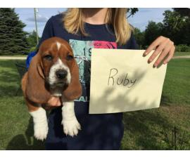 All females, pure bred Basset Hound Puppies for adoption