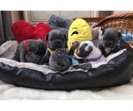 Lovely French Bulldog Puppy Looking 4 New Family