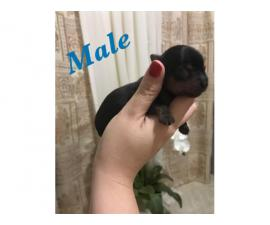 2 boys 1 girl purebred Yorkies for sale