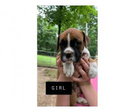 3 girls and 1 boy full-blooded Boxer puppies for re-homing