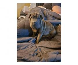 Rehoming male Shar-pei puppy