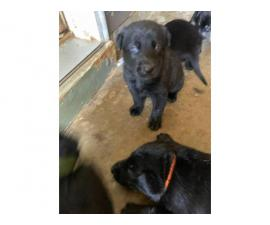 lab puppies for sale