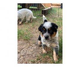 Texas Heeler puppies ready for their new homes