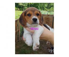 Ready to leave now Purebred Beagle Puppies