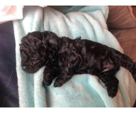 3 female Schnoodle puppies remaining