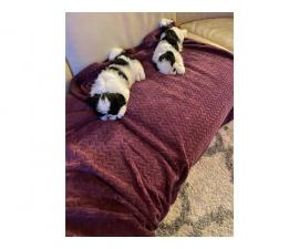 2 Pure bred Shih Tzu puppies for sale with papers