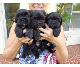 6 weeks old registered Shorkie puppies ready to go now