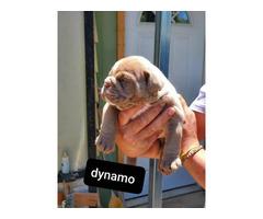 8 AKC English bulldog puppies for sale
